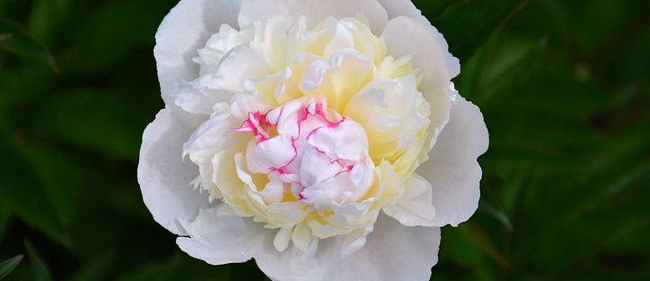 Florile și poveștile din spatele lor, bujor alb